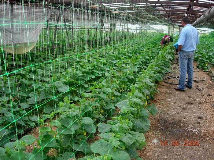 Выращивание зимой картофеля в теплице 73